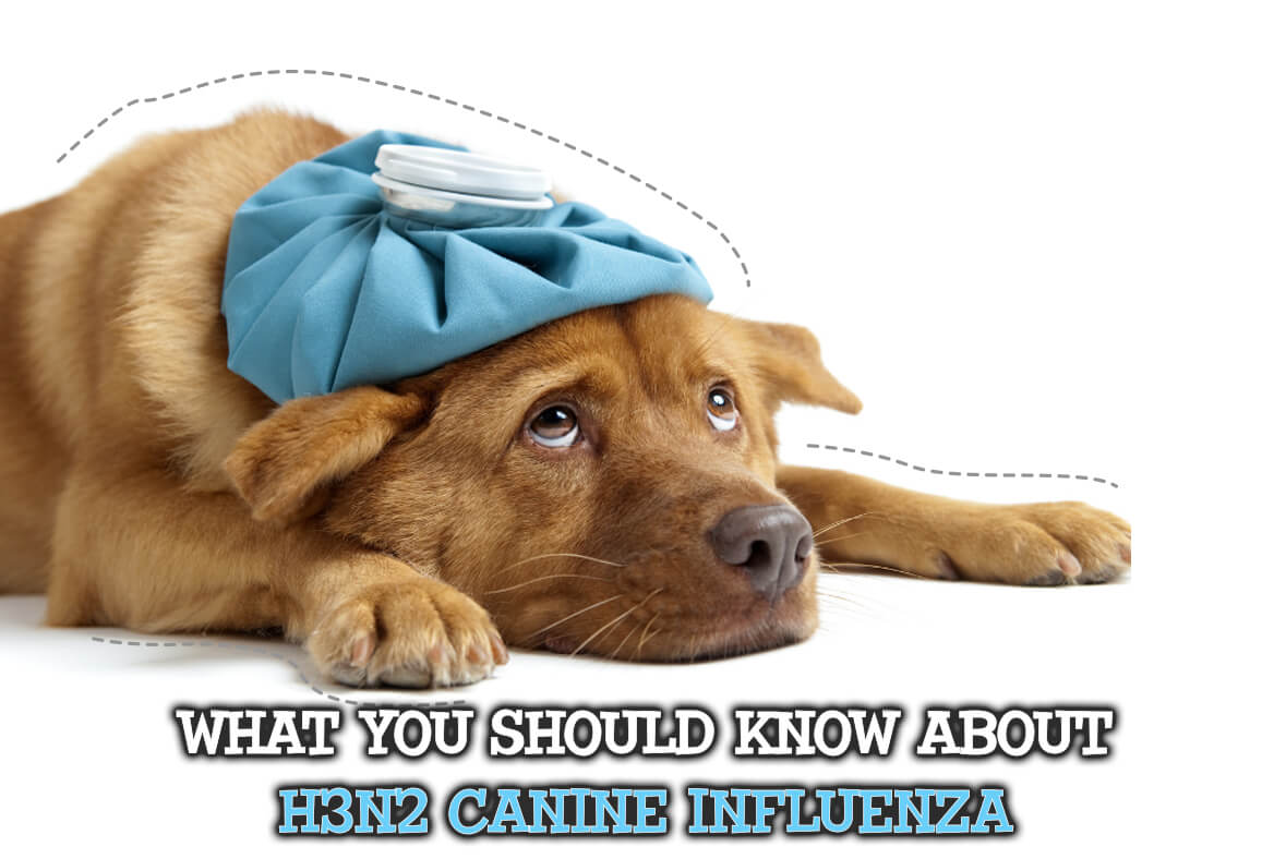 What You Should Know About H3N2 Canine Influenza