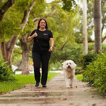 dog walker on sidewalk walking poodle