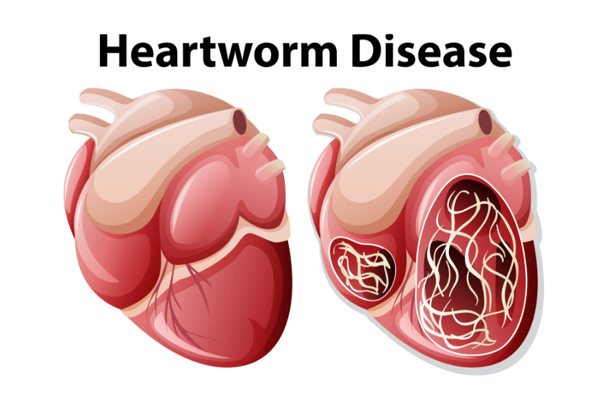 Heartworm Disease in Cats and Dogs