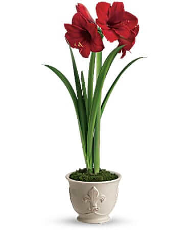 amaryllis red flower in pot