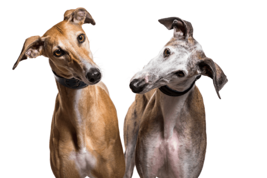 Greyhounds, The Dogs Who Live To Run
