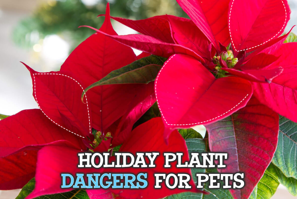 Holiday Plant Dangers For Pets