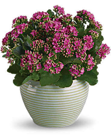 Kalanchoe plant in striped vase