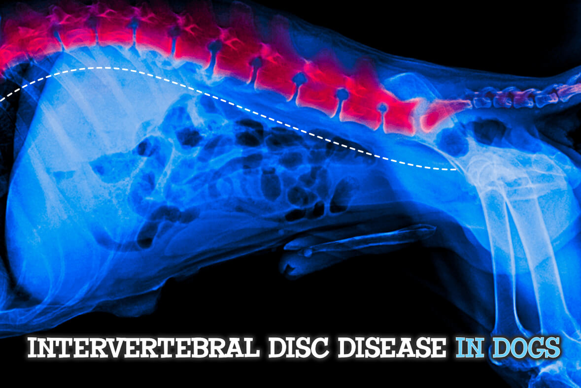Intervertebral Disc Disease In Dogs