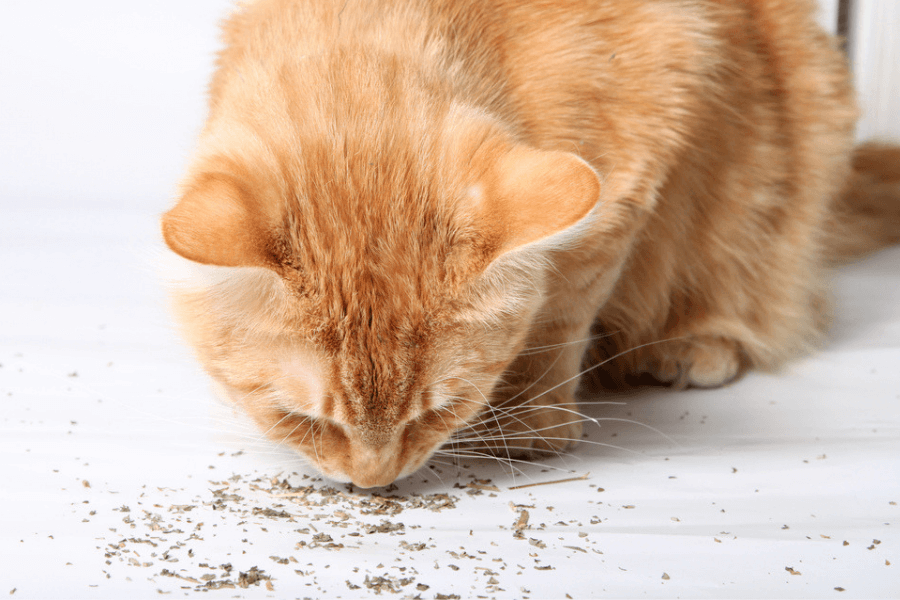 Why Do Cats Love Catnip?